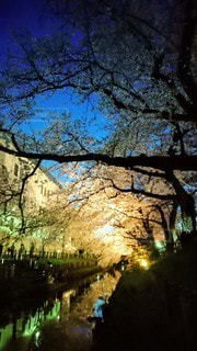小川沿いの桜並木のライトアップの写真・画像素材[3054127]