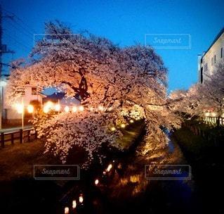 桜並木ライトアップの写真・画像素材[3054125]