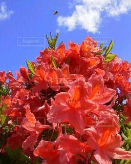 青空と山つつじと蜂の写真・画像素材[3064247]