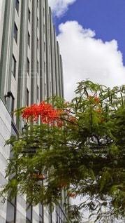 沖縄県庁前のホウボウボクの写真・画像素材[3069357]