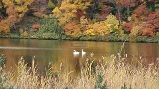 秋田県八幡平大沼の紅葉と白鳥の写真・画像素材[4095400]