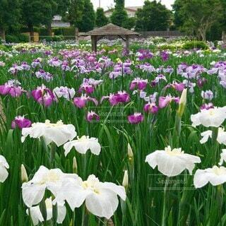 染谷花しょうぶ園の写真・画像素材[4468474]