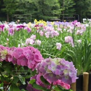 紫陽花と花菖蒲の写真・画像素材[4516853]