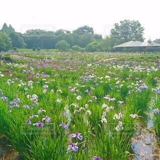 北山公園の花菖蒲の写真・画像素材[4544414]