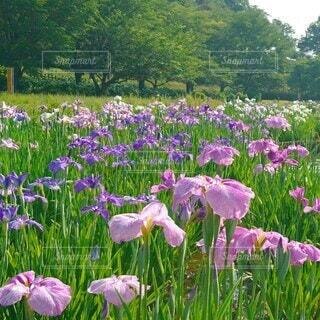 北山公園の花菖蒲の写真・画像素材[4544416]