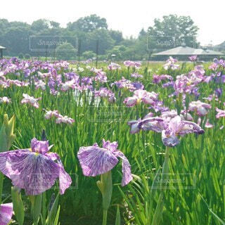 北山公園の花菖蒲の写真・画像素材[4544413]
