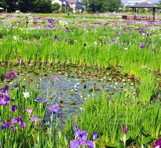 北山公園の花菖蒲園の写真・画像素材[4544422]