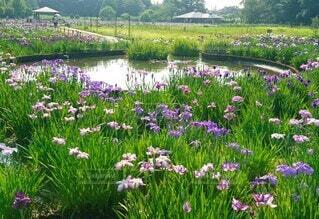 北山公園の花菖蒲の写真・画像素材[4544415]