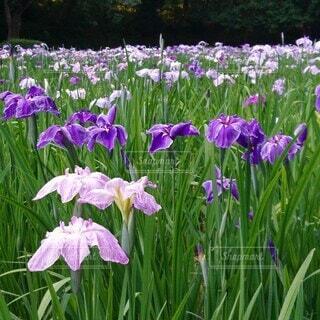 智光山公園の花菖蒲の写真・画像素材[4544418]
