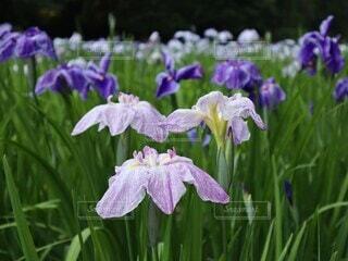 智光山公園の花菖蒲の写真・画像素材[4544423]