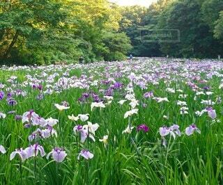 智光山公園の花菖蒲の写真・画像素材[4544424]