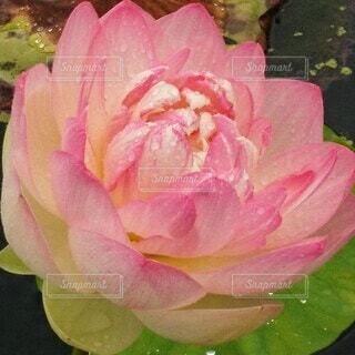 蓮の花のアップの写真・画像素材[4571928]