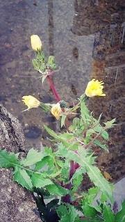 枯れる花にも魅力があるのねの写真・画像素材[3071954]
