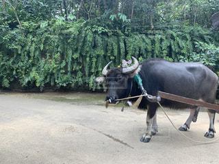 水牛の写真・画像素材[3061080]