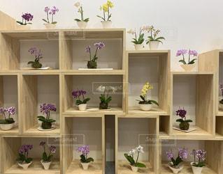 棚に並んだミニ胡蝶蘭の写真・画像素材[3066564]
