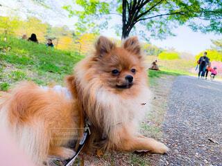 地面に横たわる大きな茶色の犬の写真・画像素材[4345111]