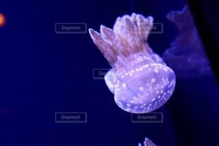クラゲの写真・画像素材[3058365]