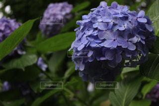 紫陽花の写真・画像素材[3063438]