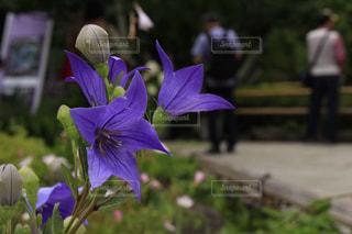 紫の華の写真・画像素材[3063424]