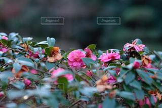 ピンクのお花の写真・画像素材[3063435]