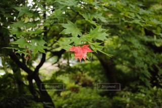 真紅のカエデの写真・画像素材[3063452]