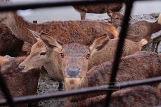 見つめる鹿の写真・画像素材[3063454]