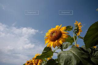 向日葵の写真・画像素材[3063472]