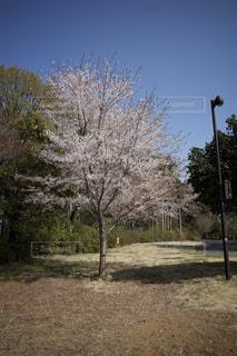 一本桜の写真・画像素材[3074741]