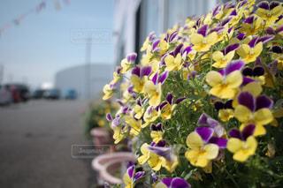 コロナに負けない花の写真・画像素材[3164650]
