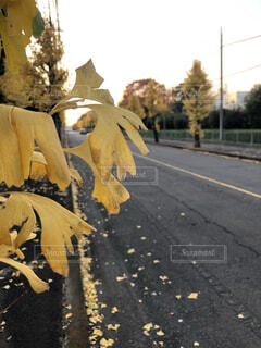 イチョウ並木の写真・画像素材[3894109]