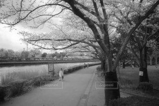 桜並木の写真・画像素材[4284444]
