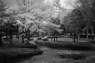 桜と公園の写真・画像素材[4284448]
