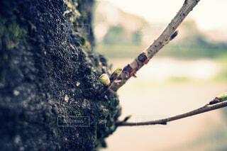 桜の木の写真・画像素材[4284449]