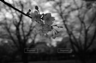 「桜」の写真・画像素材[4284450]