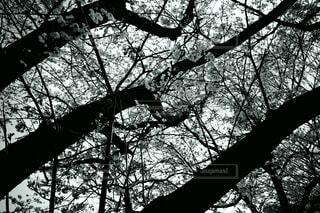 「桜」の写真・画像素材[4284458]