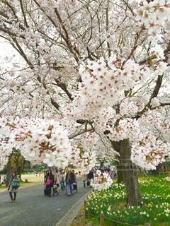 桜の写真・画像素材[340271]