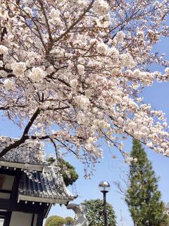 桜と青空の写真・画像素材[340272]