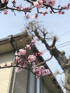 梅の花の写真・画像素材[390192]
