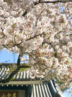 No.428568 桜