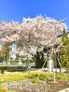 桜の写真・画像素材[441466]