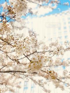 今年も桜の季節がきましたの写真・画像素材[1077752]