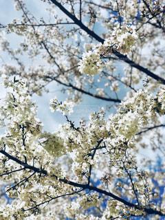 やっぱり桜は綺麗ですの写真・画像素材[1078156]