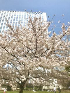 桜の花びらは秒速五センチメートルで舞い落ちるそうです。の写真・画像素材[1089263]