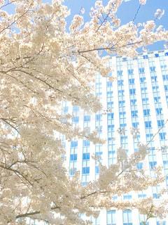 桜の写真・画像素材[1089570]