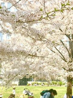 桜の木の下での写真・画像素材[1090027]