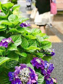 街角の紫陽花の写真・画像素材[1228002]