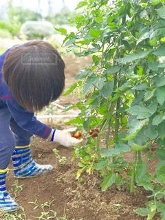 ミニトマトの収穫の写真・画像素材[1252196]