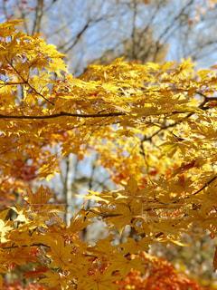 秋。八ヶ岳の紅葉。の写真・画像素材[1449690]