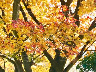 秋色に染まる葉っぱの写真・画像素材[1649878]