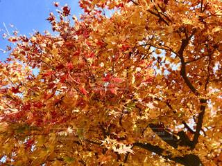 秋色に染まった葉っぱたちの写真・画像素材[1650278]